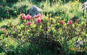 Alpenrose3