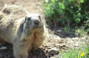 Marmot05