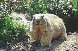 Marmot06
