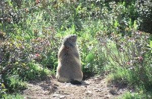Marmot08